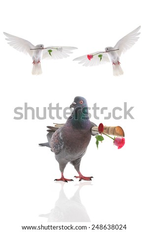 two free flying white pigeon in a beak with a rose is isolated on a white background - stock photo