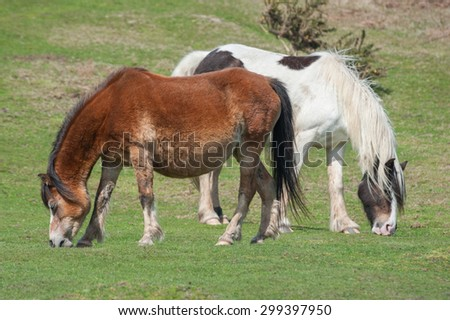 two free roaming welsh ponies grazing on moorland - stock photo