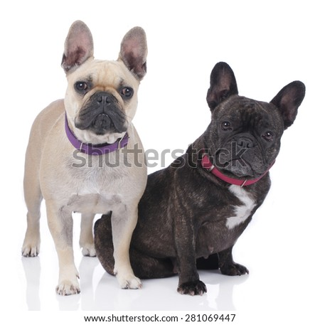 Two french bulldogs isolated on white