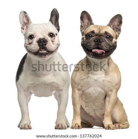 Two French Bulldogs, 3 years old, sitting and panting, isolated on white - stock photo