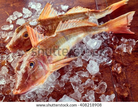 Two fresh oceanic gurnard or sea robins on ice, a Mediterranean Triglidae fish excellent for eating - stock photo
