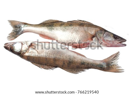 two fresh-water fresh raw pike-perches on a white background