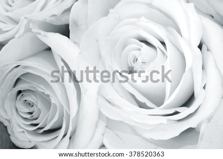 Two fresh white roses close up