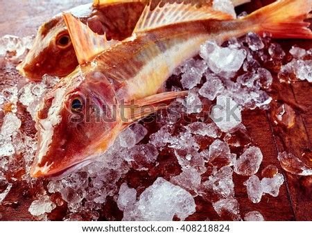 Two fresh whole uncooked gurnard or sea robins on ice in a close up view on the head and eye of one fish ready preparing for cooking - stock photo