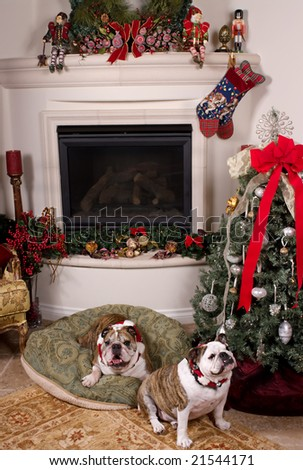 Two friendly bulldogs near the fireplace and the Christmas tree - stock photo