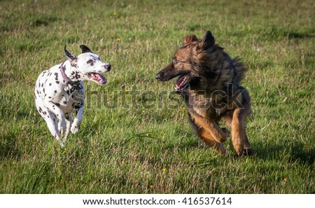 Two friendly dogs running together and looking at each other.  German Shepherd and Dalmatian.