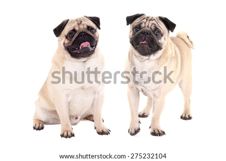 two friendly pug dogs sitting isolated on white background - stock photo