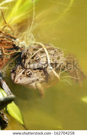 Two frogs in the water - stock photo