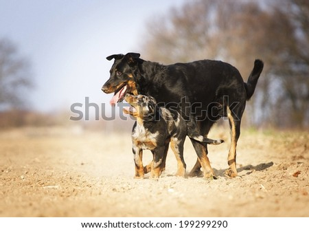 two fun rottweiler dog running with bauceron puppy running in nature dog trick - stock photo
