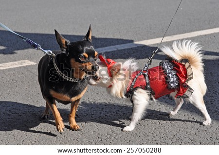 two funny dogs in dress - stock photo