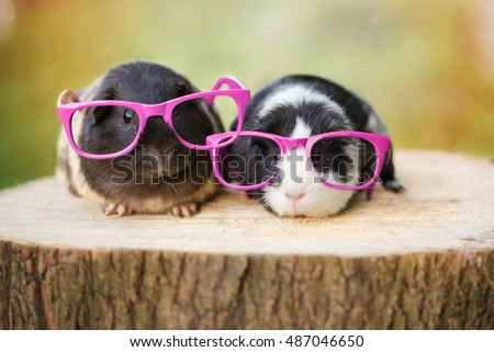 two funny guinea pigs in pink glasses