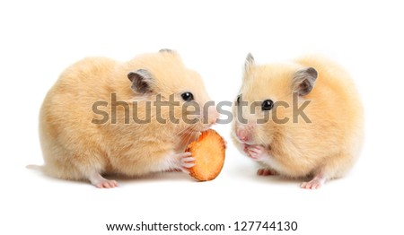 Two funny hamsters eats on white isolated background - stock photo