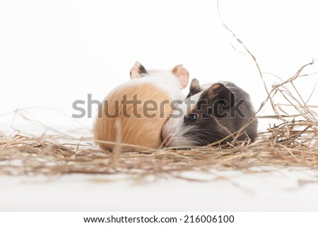 Two funny hamsters on white isolated background. Two hamster closeup sitting on hay - stock photo
