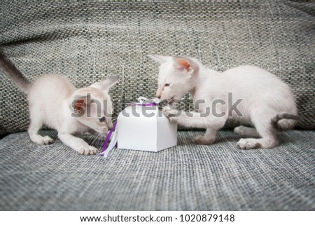 Two funny 1 month old oriental blue-point Siamese kittens with gift box