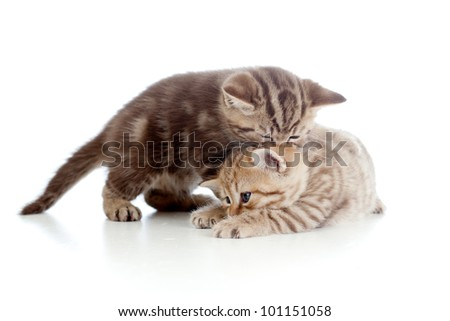 two funny playful small kittens playing with each other - stock photo