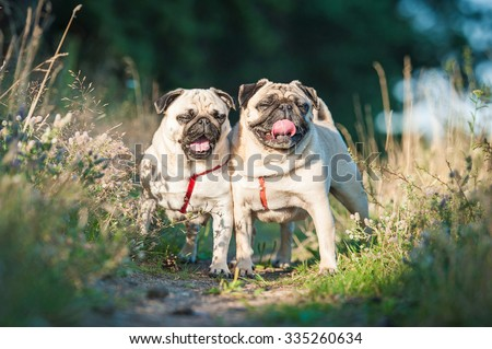 Two funny pug dogs on the walk in summer - stock photo