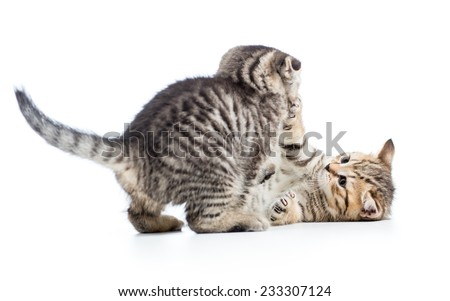 two funny young cat kittens play together - stock photo
