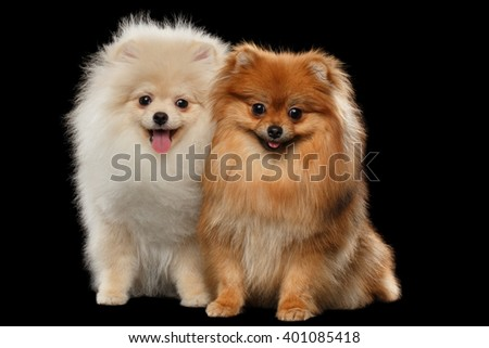 Two Furry Cute White and Red Pomeranian Spitz Dogs Sitting, Smiling isolated on Black Background in Front view - stock photo