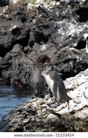 Two Galapagos Penguins - stock photo