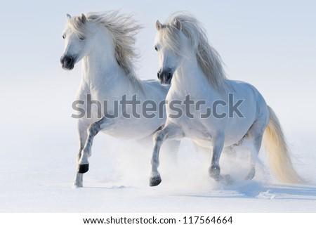 Two galloping snow-white horses - stock photo