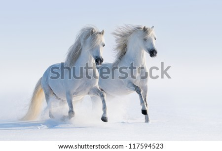 Two galloping white horses on snow field