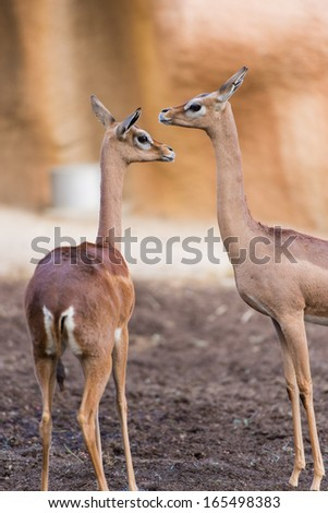 two gazelles