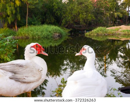 two geese in lake Joho village
