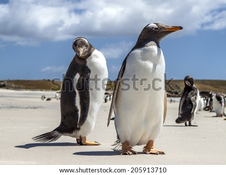 Two Gentoo Penguins at Falklands Islands. Photographed at North Pond, in the north coast of East Falkland. North Pond, East Falkland. - stock photo