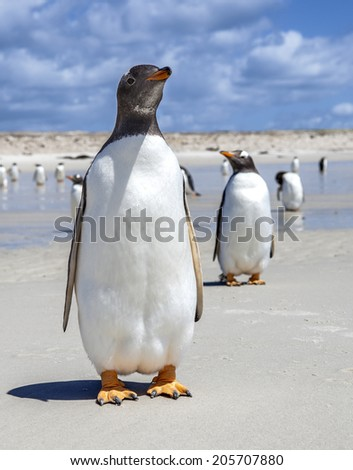 Two Gentoo Penguins one in front one in back in the Falkland Islands.  On the North Pond beach, East Falkland Island. - stock photo