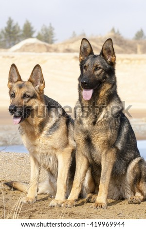 two German sheepdogs are sitting on the sand - stock photo
