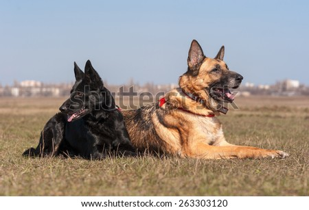 Two german shepherd dogs  lie at the field and look in sides - stock photo