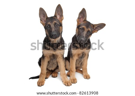 two German shepherd puppies in front of a white background - stock photo
