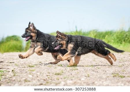 Two german shepherd puppies running on the beach - stock photo