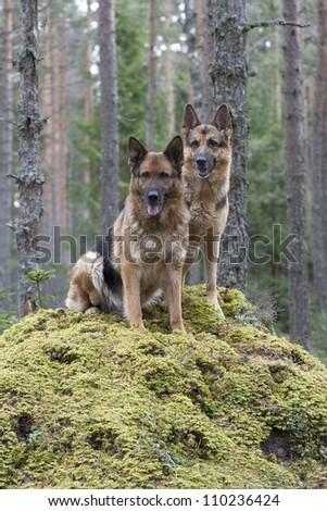 two German Shepherds - stock photo