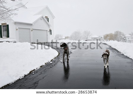 Two german short hair dogs on driveway - stock photo