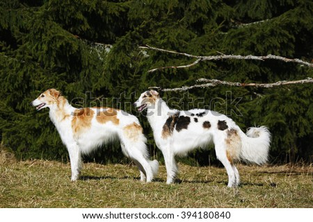 Two giant Borzoi sight-hounds against a forrest background - stock photo