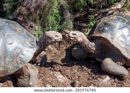 Two Giant Tortoise at Galapagos Islands, Ecuador - stock photo