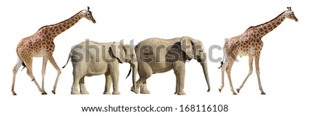 Two girafes and two African elephants walking in single file isolated on white background