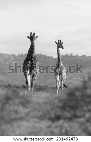 Two giraffe in this moody black and white image. - stock photo