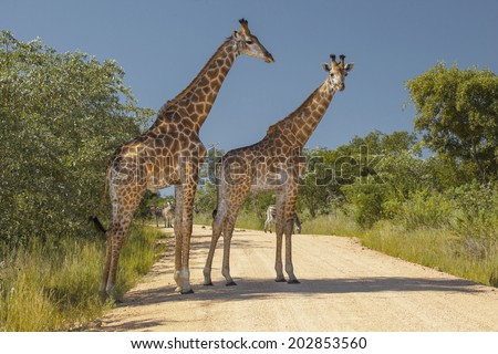 Two Giraffes and a Few Zebras in their Natural Habitat, Standing in a Road in the Kruger National Park of South Africa. - stock photo