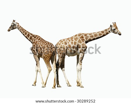 two giraffes back-to-back with clipping path
