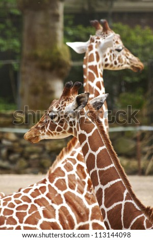 Two giraffes close up for background use - stock photo