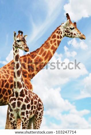two giraffes grazing in safari park - stock photo