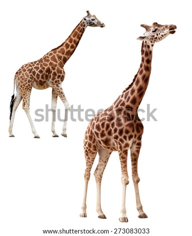 Two giraffes in different positions isolated on white (clipping path included)