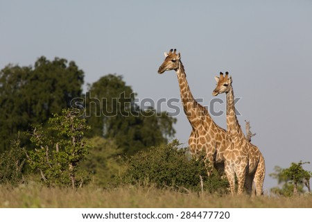 Two giraffes in golden light staring off to one side