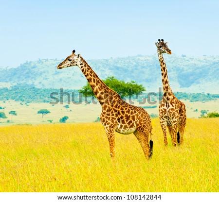 Two giraffes, Kenya - stock photo