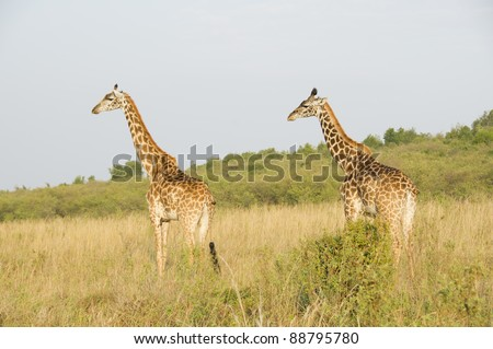 Two giraffes look to the left