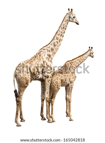 two giraffes on white