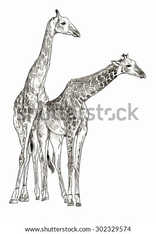 Two giraffes sketch - stock photo