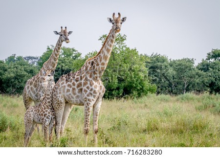 Two Giraffes starring at the camera in the Chobe National Park, Botswana.